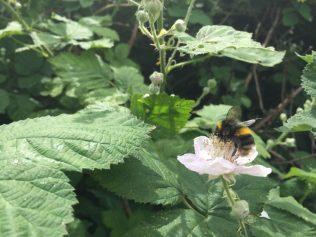Bumble bee on bramble
