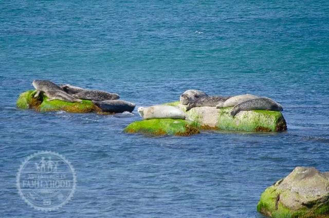 Seals sunbathing on rocks at Montauk Point Seal Haulout