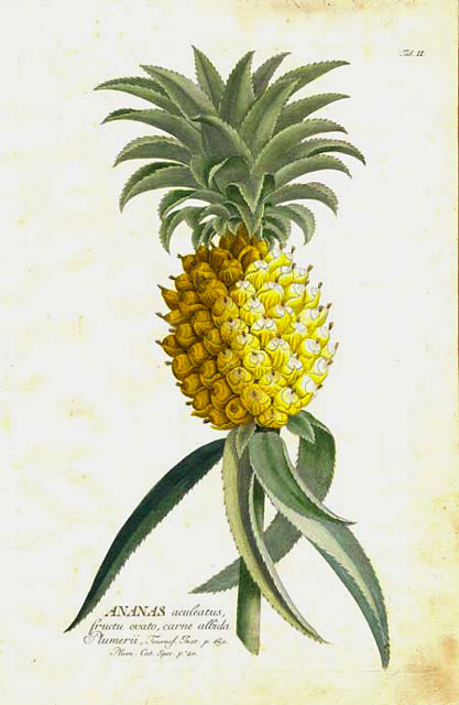 The exotic delicacy of one pineapple was a rare thing in the 18th century, let alone four. by Georg Ehret.