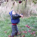 Picking apples at an apple orchard