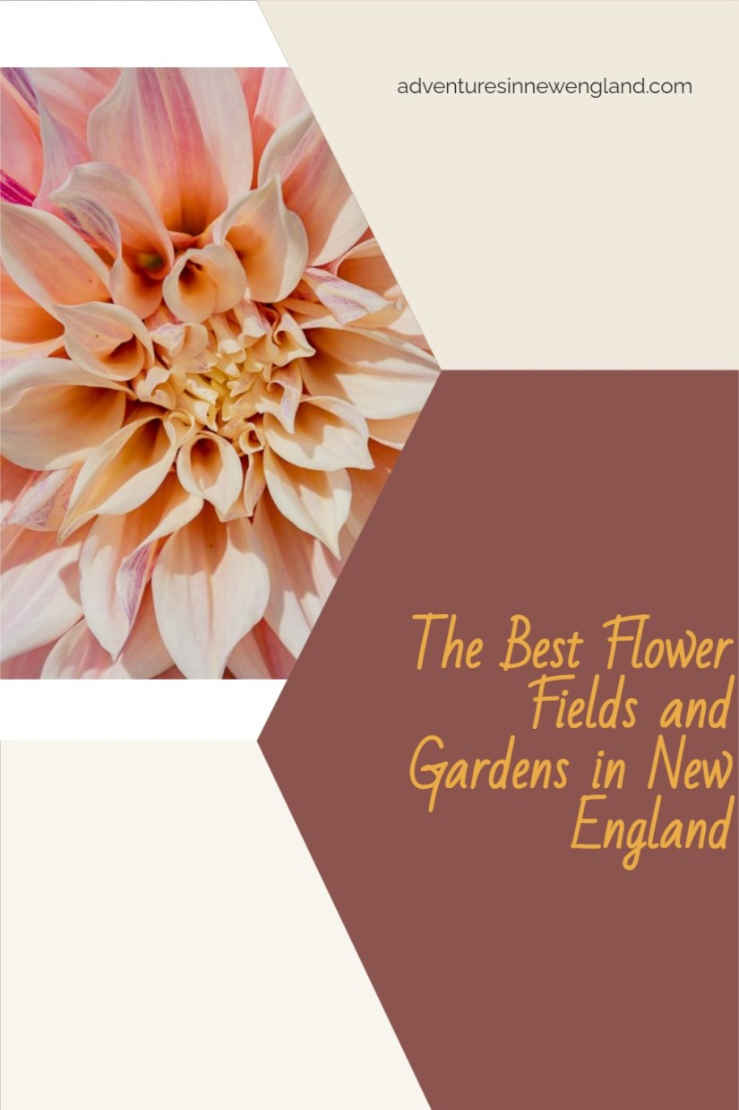 Looking to see some gorgeous fields of flowers? Read on for when and where to see the best flower fields in New England! #NewEnglandgardens #flowers #visitNewEngland