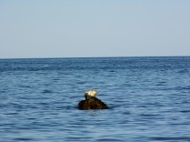 Seal16