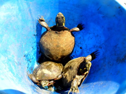 Saved Turtles in a pail, the only safe transport device.
