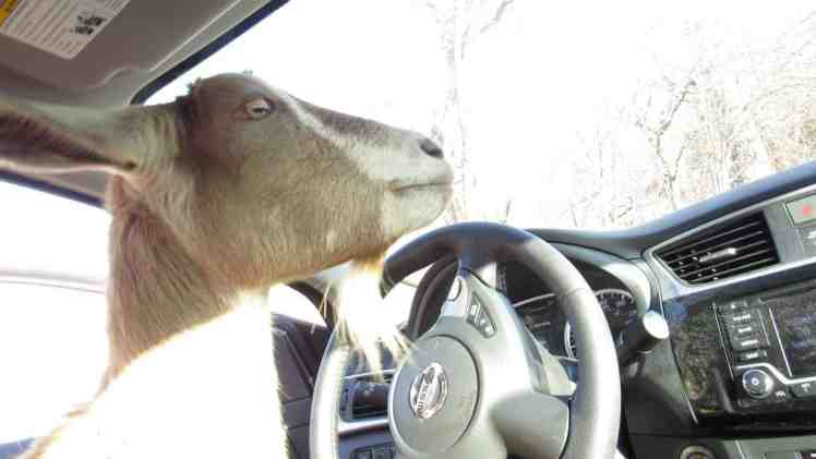 There's an Escape Goat in the Car Mommy
