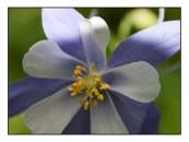 Blue Columbine website