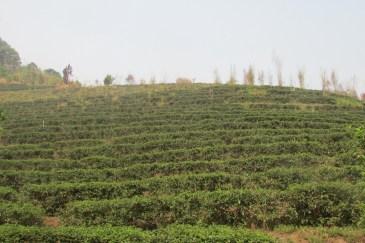 Tea plantations surround Mae Salong.