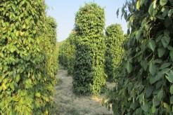 Pepper plantations - tried fresh pepper - still tastes like pepper