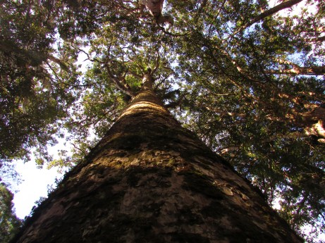 Kauri trees can grow to over 50m hide and live for over 2000 years