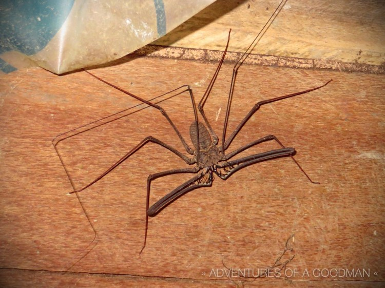 This is the scorpion spider that lived next to my latrine. Fortunately, I only saw him once.