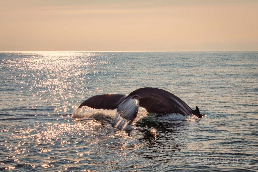 Whale Watching off the coast of Cape Cod, Massachusetts