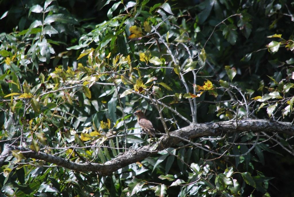 Female Blue Grosbeak