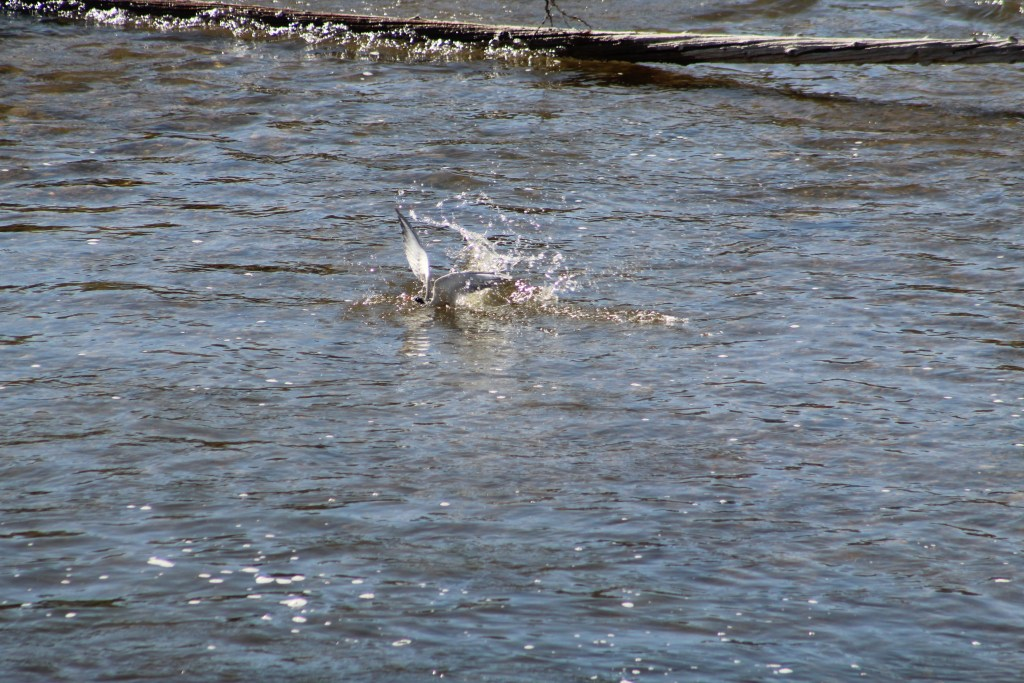 Forster's Tern diving under water