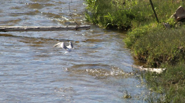 Forster's Tern leaving the water