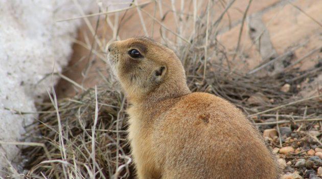 Utah Prairie Dog