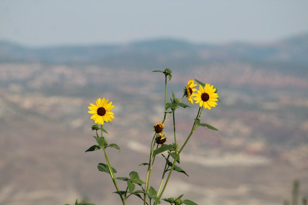 Yellow Wild Flowers Utah