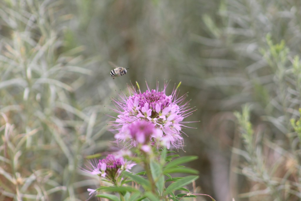Western Cleome