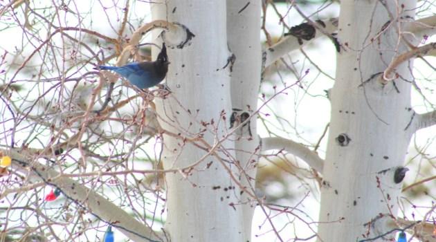 Steller's Jay in Aspen Tree at Ruby's Inn