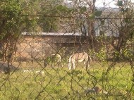 Burros in yard, Mexico