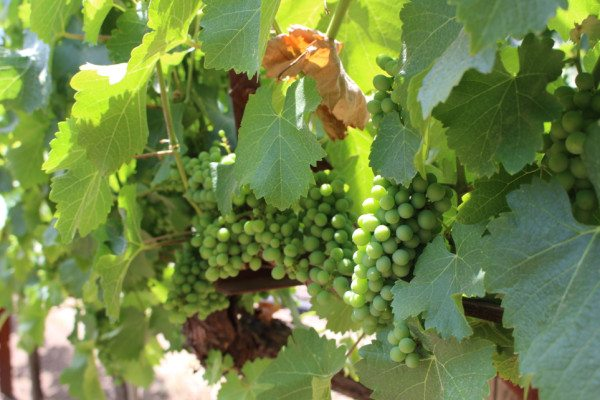 clusters of green grapes on the vine