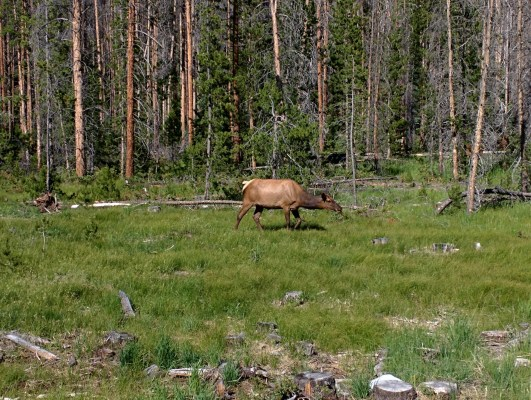 Grand Lake elk