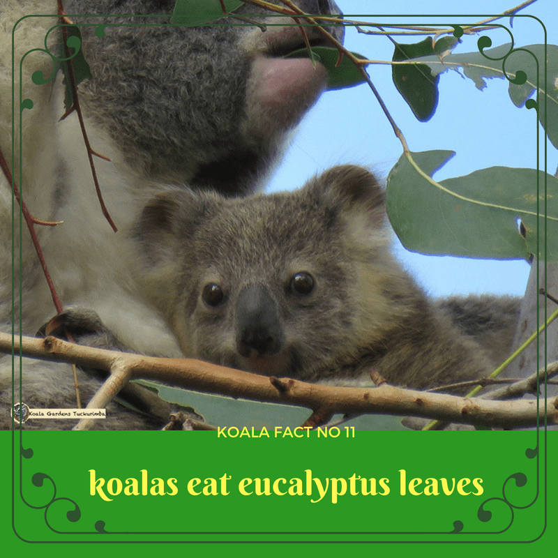 Wild koalas live on eucalyptus leaves and have to find the right trees to be able to survive
