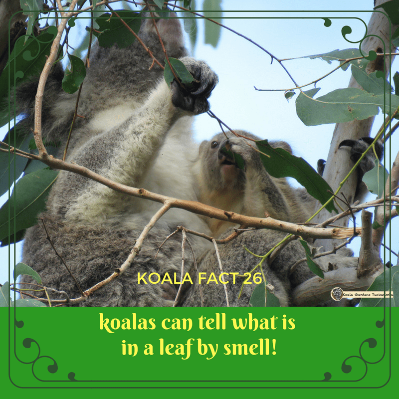 Koalas have very sensitive noses that can chemically analyse the content of leaves by smell - they can detect levels of eucalyptus oil and water, and other compounds.