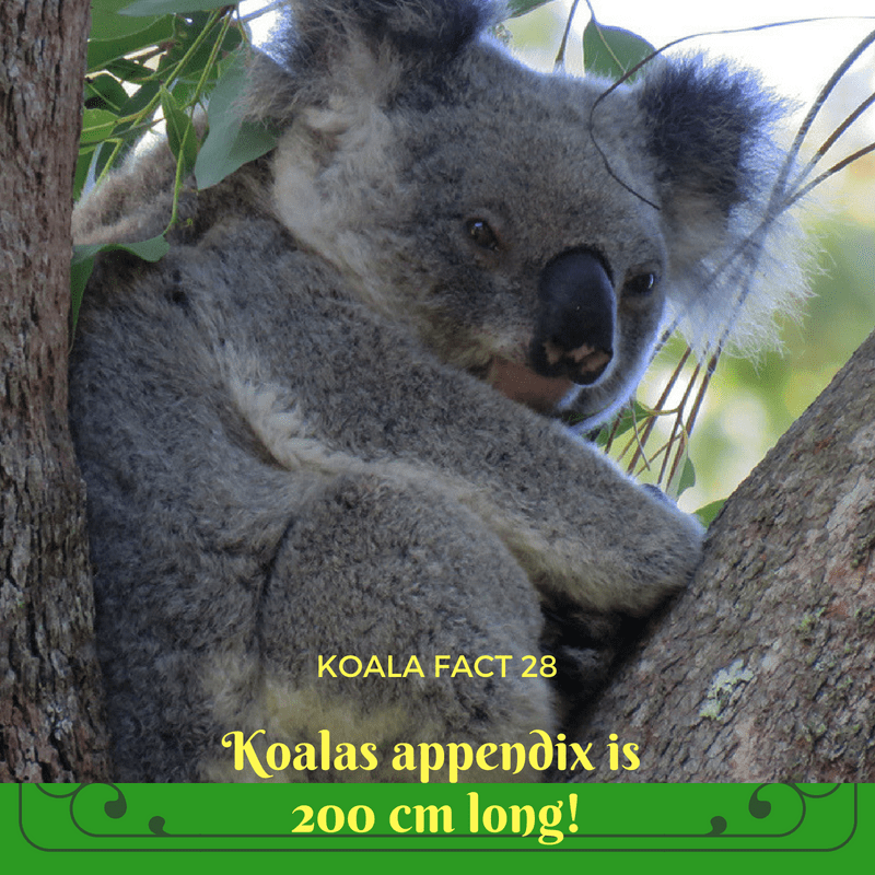 The caecum, or appendix, is where nearly all digestion takes place for the koala. It is full of billions of special bacteria that break down the tough eucalyptus leaves for the koala to absorb.