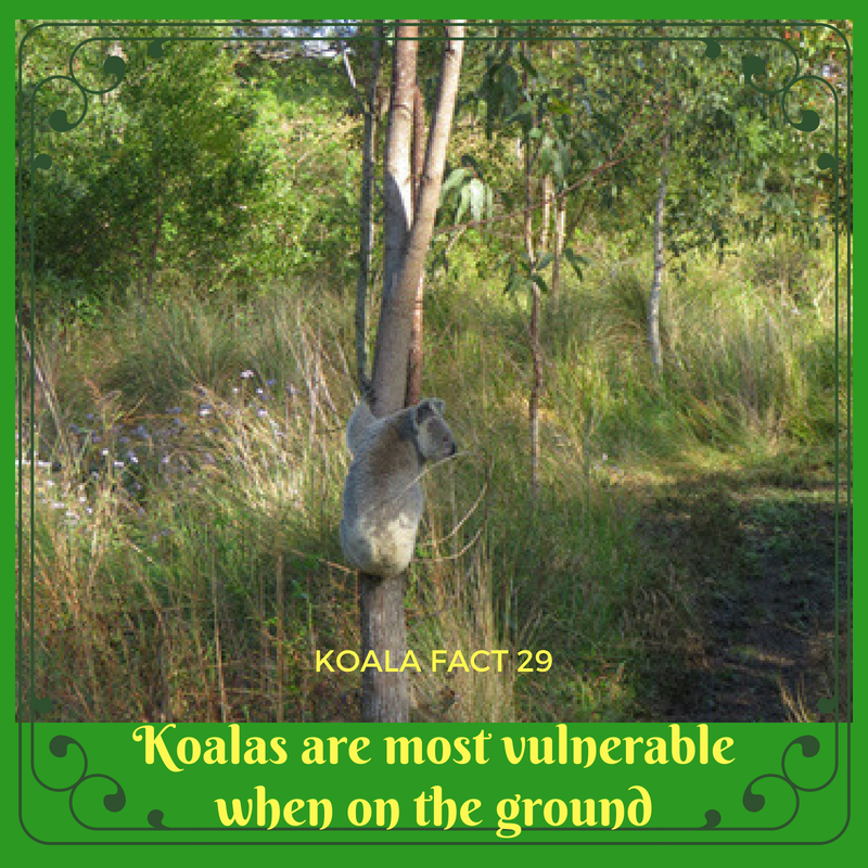 Wild koalas are made to live in the treetops. When on the ground they are in danger of cars and dogs in particular.