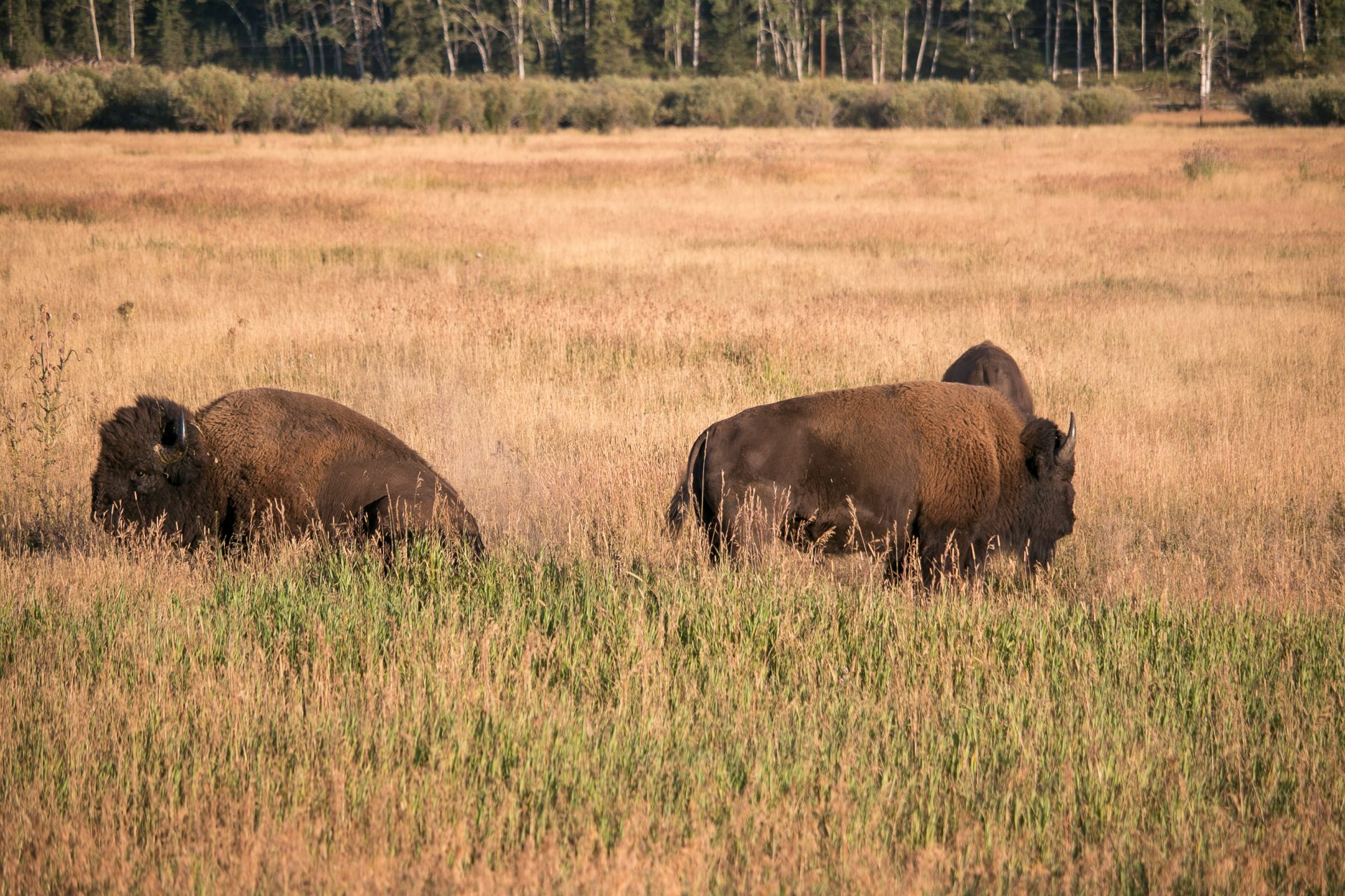 Buffalo-In-Grand-Teton