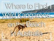 Wild Kangaroos on the Beach Australia