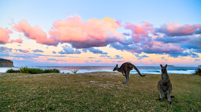 Pebbly Beach Kangaroos Sunset