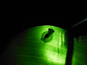 Frog seen during a night walk in Costa Rica