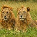 Karen Blixen Camp - Lions