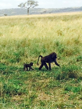 baboons-2