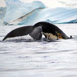 Whale Watching Safari in Antarctica
