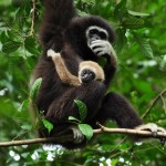 Gibbon-rehabilitation_Phuket