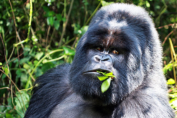 3-Day Bwindi Gorilla Express