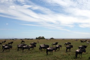 Safari migration