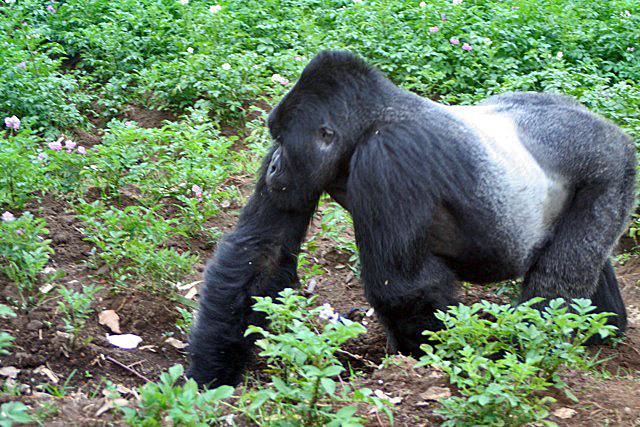 5-Day Fly-in Uganda Bwindi Gorillas Trek