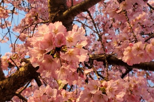 Cherry Blossoms | Adventures with Shelby