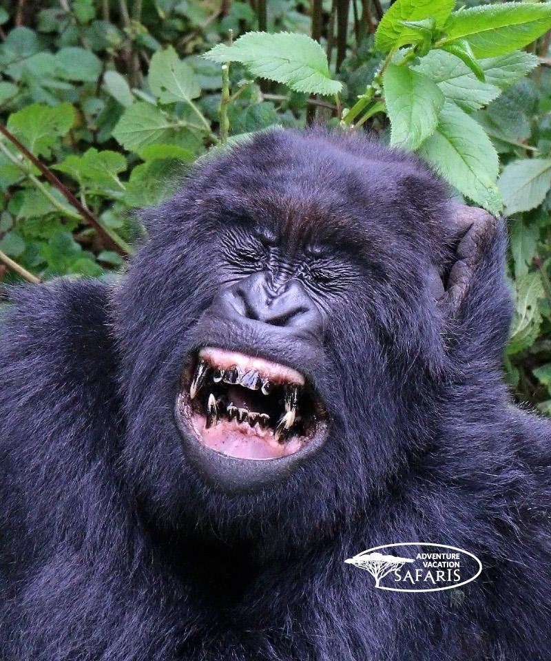 Female teething Mountain Gorilla