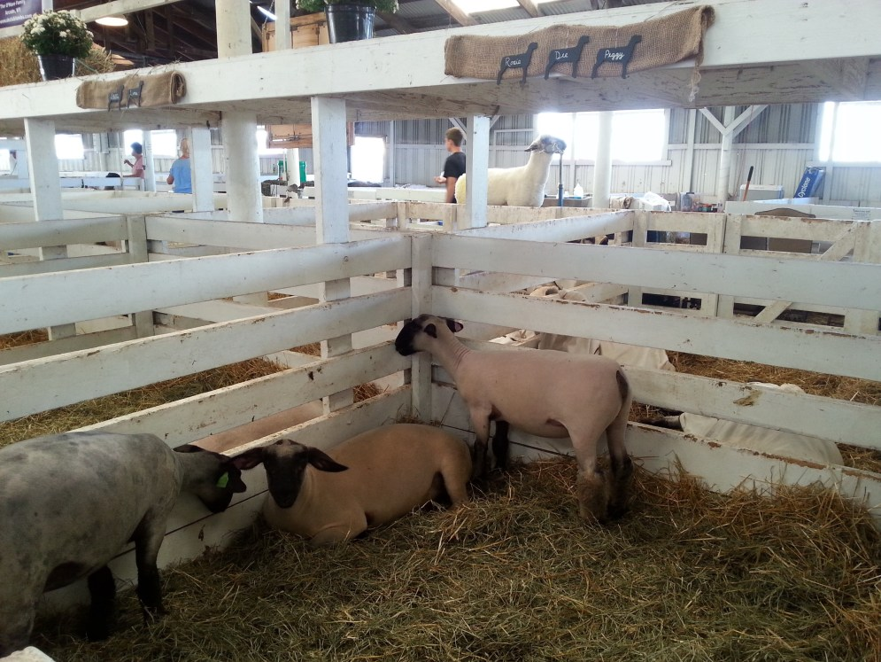 Sheep! No visit to the Fair is complete without seeing all of the livestock.