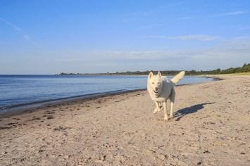 Happy kite dog on the beach
