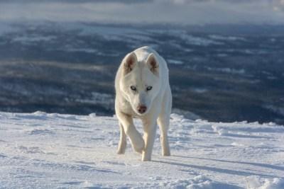 Husky on the mountain #2 (_DSC9109)