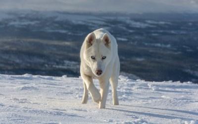 Elvis the Husky on the mountain
