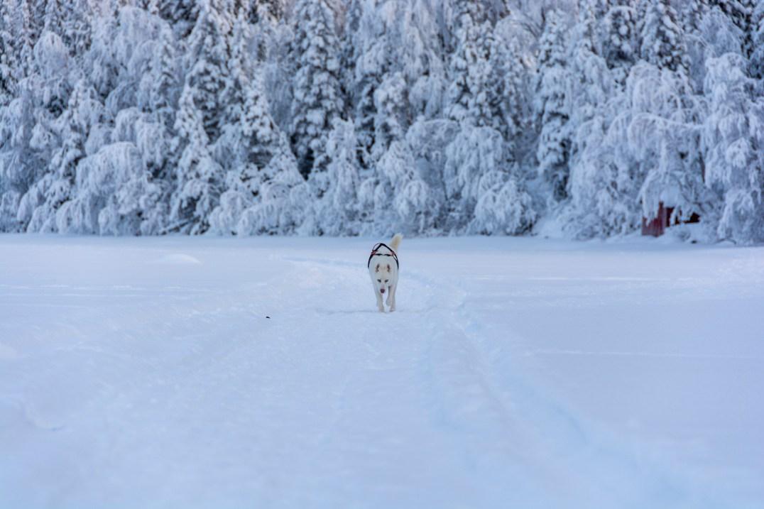 Elvis the siberian husky på turskidtur