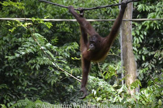 Borneo Orangutan