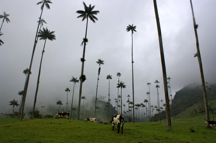 The famous wax palm trees in Valle del Cocora