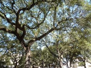 Live Oak tree in Savannah GA