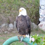 Bald Eagle at Parque Condor bird rehab facility in Otavalo.